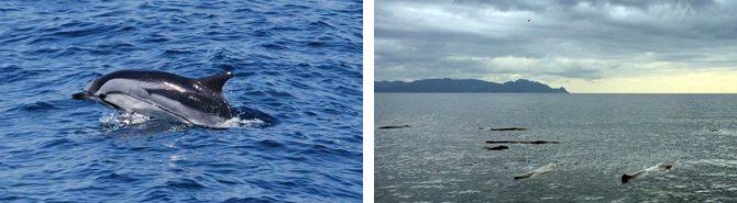駿河湾に生息する海棲哺乳類の研究を進めています