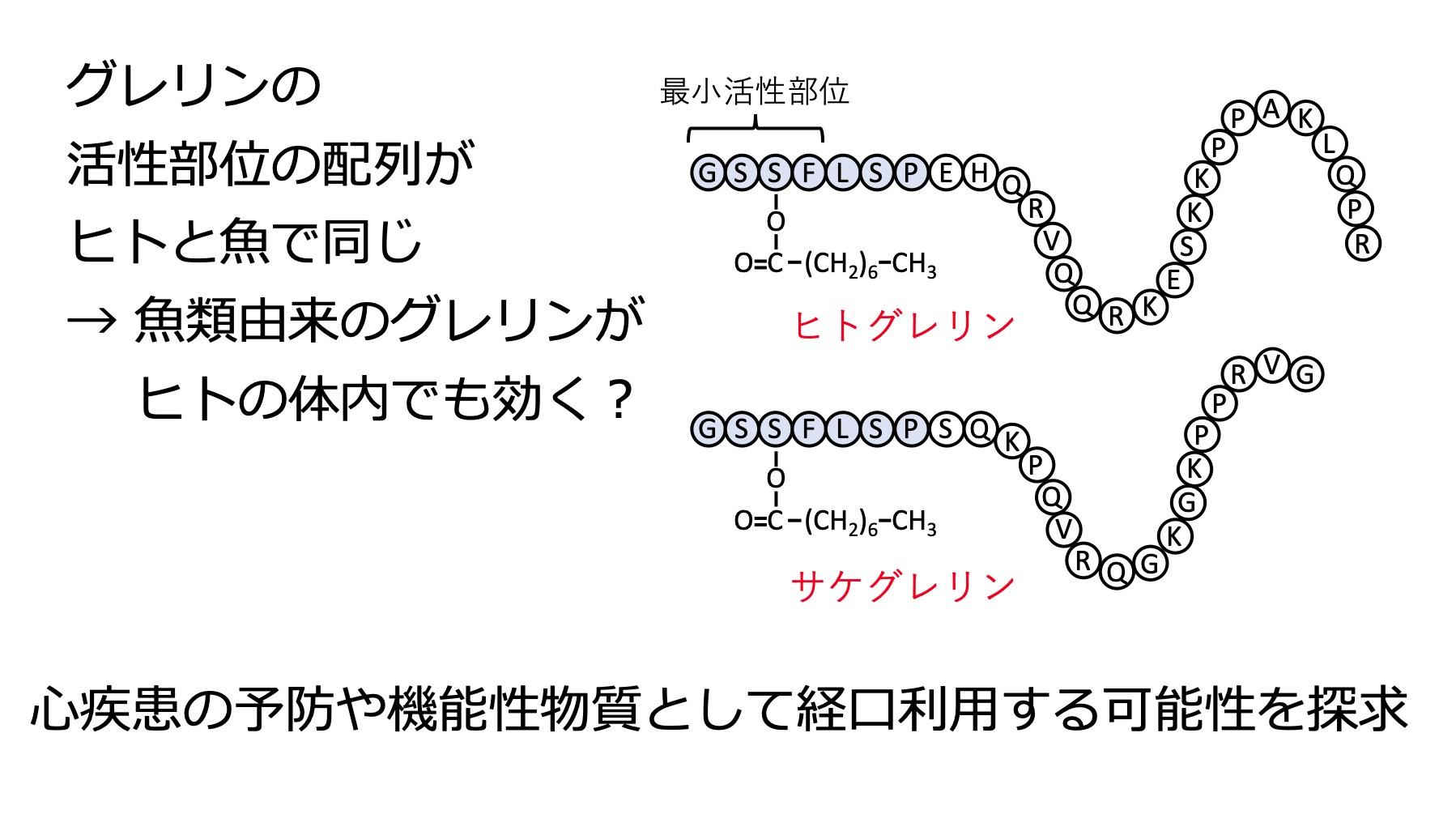 魚類の胃腸管から抽出したグレリン含有成分の有効利用方法の検討